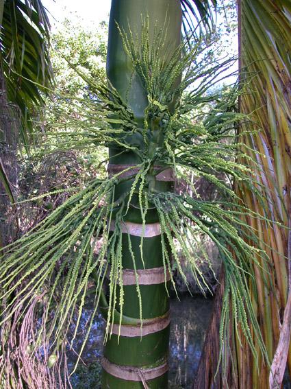 http://media.e-taxonomy.eu/palmae/photos/palm_tc_14517_2.jpg