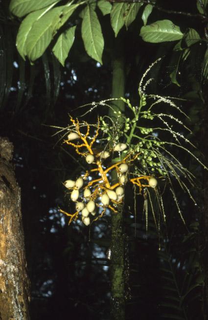 http://media.e-taxonomy.eu/palmae/photos/palm_tc_14572_1.jpg