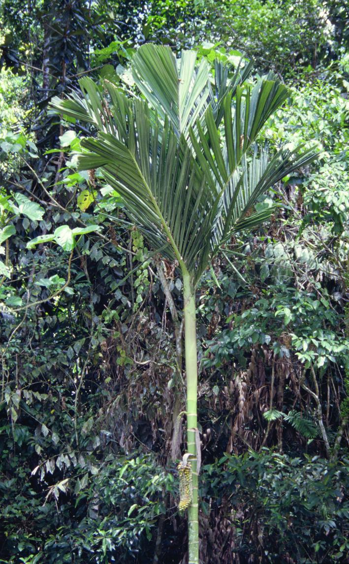 http://media.e-taxonomy.eu/palmae/photos/palm_tc_14585_11.jpg