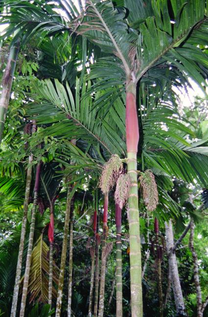 http://media.e-taxonomy.eu/palmae/photos/palm_tc_14585_4.jpg