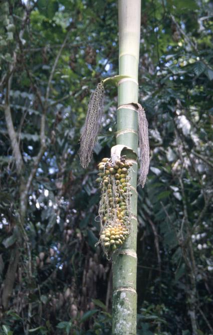 http://media.e-taxonomy.eu/palmae/photos/palm_tc_14585_6.jpg