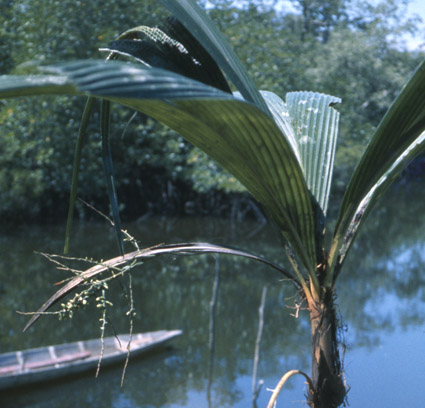 http://media.e-taxonomy.eu/palmae/photos/palm_tc_14640_1.jpg