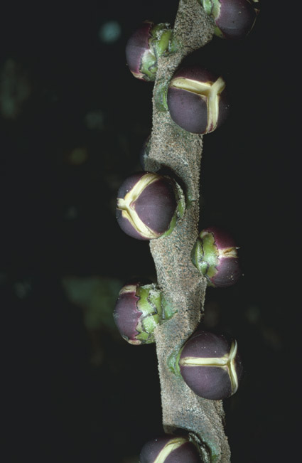 http://media.e-taxonomy.eu/palmae/photos/palm_tc_14664_2.jpg