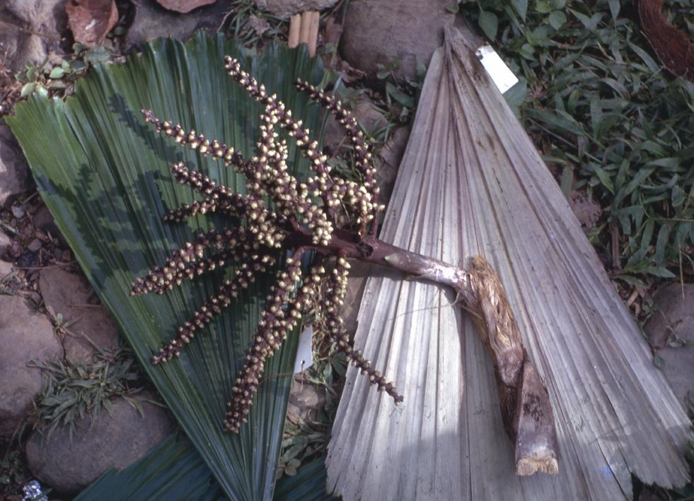 http://media.e-taxonomy.eu/palmae/photos/palm_tc_14664_5.jpg