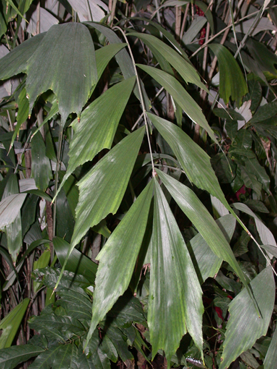 http://media.e-taxonomy.eu/palmae/photos/palm_tc_14665_6.jpg