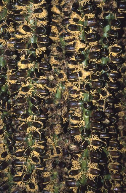 http://media.e-taxonomy.eu/palmae/photos/palm_tc_14681_3.jpg