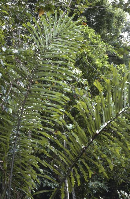 http://media.e-taxonomy.eu/palmae/photos/palm_tc_14687_6.jpg