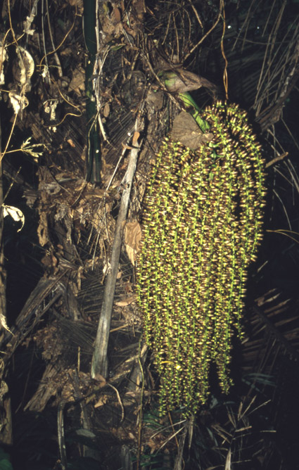 http://media.e-taxonomy.eu/palmae/photos/palm_tc_14688_4.jpg