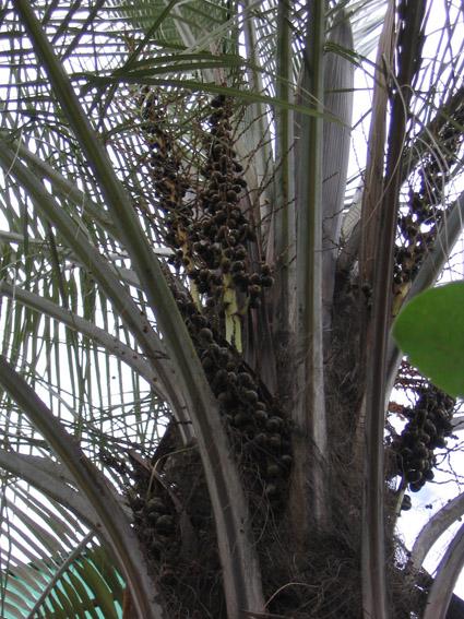 http://media.e-taxonomy.eu/palmae/photos/palm_tc_147489_3.jpg