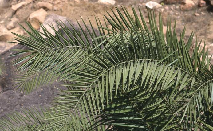 http://media.e-taxonomy.eu/palmae/photos/palm_tc_152654_2.jpg