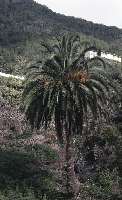 http://media.e-taxonomy.eu/palmae/photos/palm_tc_152655_8.jpg