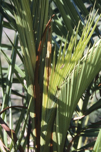 http://media.e-taxonomy.eu/palmae/photos/palm_tc_152655_9.jpg