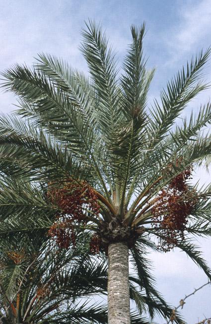 http://media.e-taxonomy.eu/palmae/photos/palm_tc_152659_5.jpg