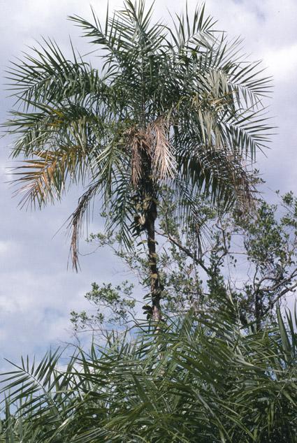 http://media.e-taxonomy.eu/palmae/photos/palm_tc_152694_3.jpg