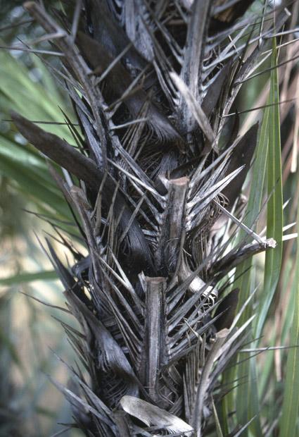 http://media.e-taxonomy.eu/palmae/photos/palm_tc_152694_6.jpg