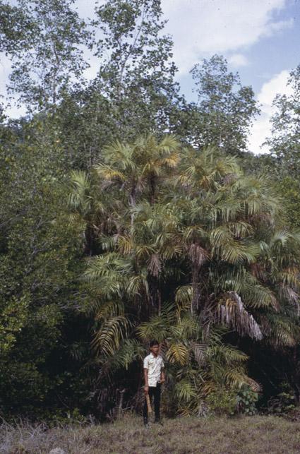 http://media.e-taxonomy.eu/palmae/photos/palm_tc_152694_7.jpg