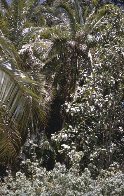 http://media.e-taxonomy.eu/palmae/photos/palm_tc_152699_3.jpg