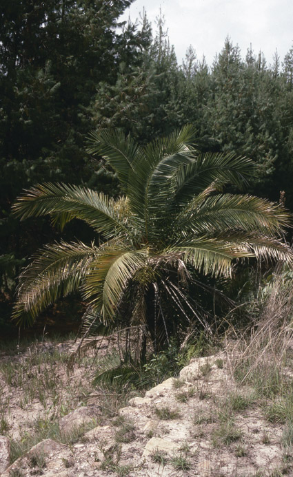 http://media.e-taxonomy.eu/palmae/photos/palm_tc_152699_5.jpg