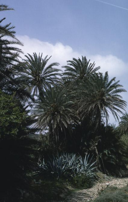 http://media.e-taxonomy.eu/palmae/photos/palm_tc_152710_3.jpg