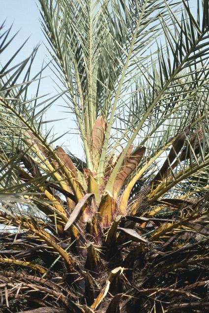 http://media.e-taxonomy.eu/palmae/photos/palm_tc_152710_7.jpg