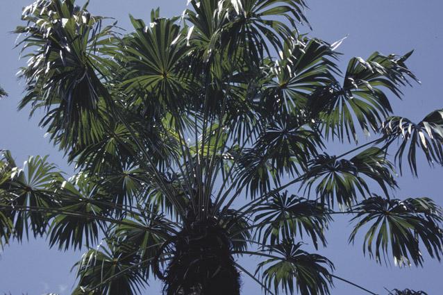 http://media.e-taxonomy.eu/palmae/photos/palm_tc_152717_1.jpg