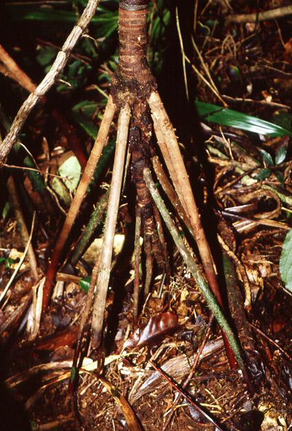 http://media.e-taxonomy.eu/palmae/photos/palm_tc_155743_2.jpg
