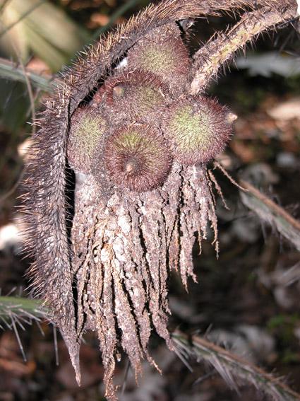 http://media.e-taxonomy.eu/palmae/photos/palm_tc_17549_1.jpg
