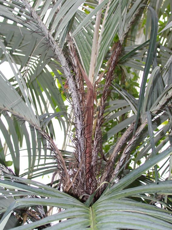 http://media.e-taxonomy.eu/palmae/photos/palm_tc_17549_3.jpg