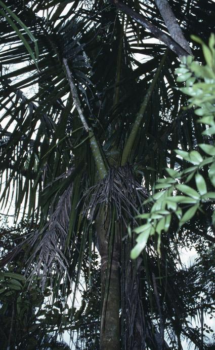 http://media.e-taxonomy.eu/palmae/photos/palm_tc_177009_4.jpg