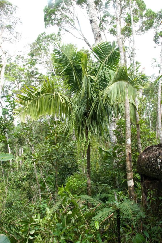 http://media.e-taxonomy.eu/palmae/photos/palm_tc_177009_5.jpg
