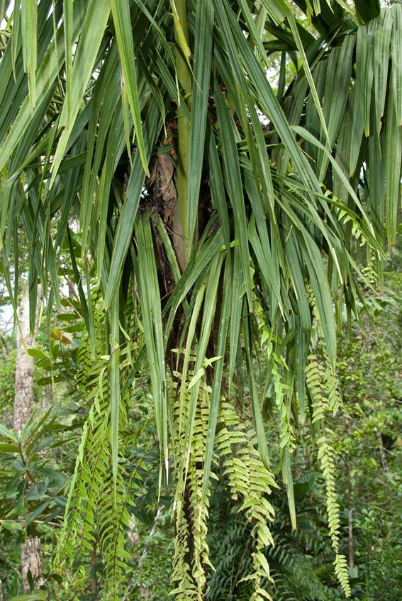 http://media.e-taxonomy.eu/palmae/photos/palm_tc_177009_7.jpg