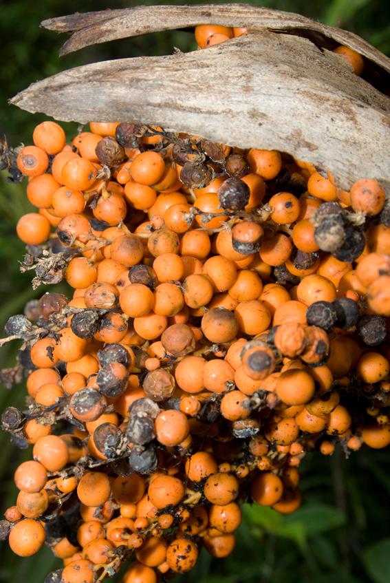 http://media.e-taxonomy.eu/palmae/photos/palm_tc_177009_9.jpg