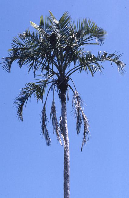 http://media.e-taxonomy.eu/palmae/photos/palm_tc_177012_2.jpg