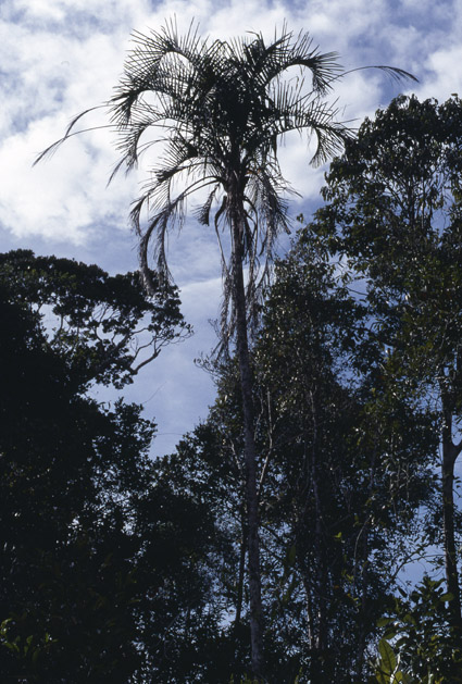 http://media.e-taxonomy.eu/palmae/photos/palm_tc_177012_4.jpg