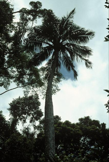 http://media.e-taxonomy.eu/palmae/photos/palm_tc_177013_1.jpg