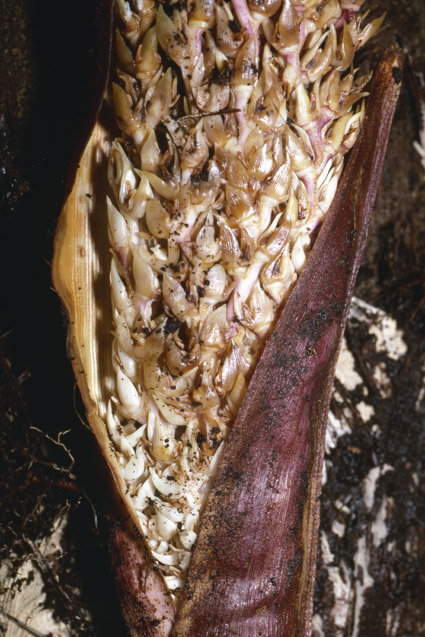 http://media.e-taxonomy.eu/palmae/photos/palm_tc_177016_6.jpg