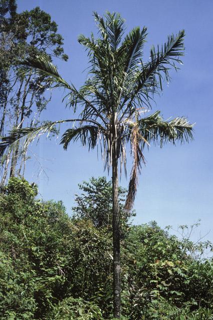 http://media.e-taxonomy.eu/palmae/photos/palm_tc_177017_1.jpg