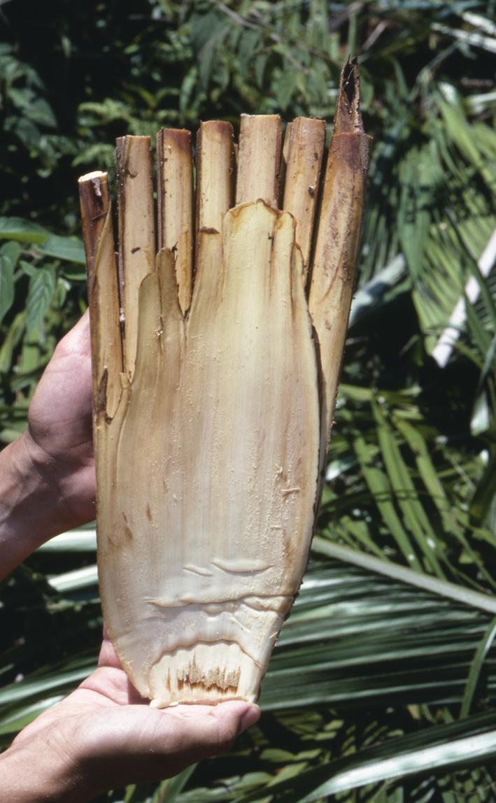 http://media.e-taxonomy.eu/palmae/photos/palm_tc_177017_10.jpg