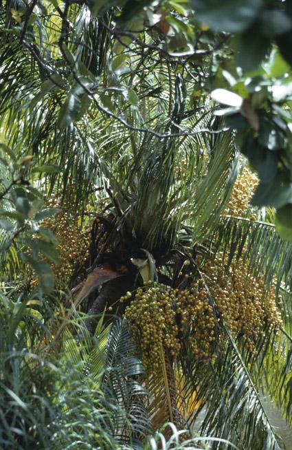 http://media.e-taxonomy.eu/palmae/photos/palm_tc_177020_14.jpg