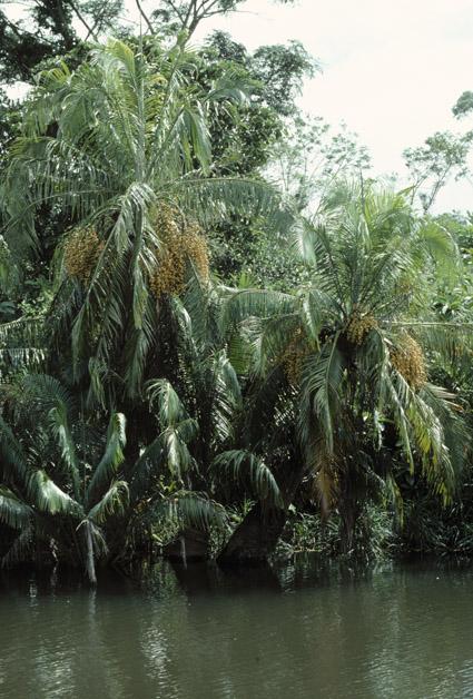 http://media.e-taxonomy.eu/palmae/photos/palm_tc_177020_4.jpg