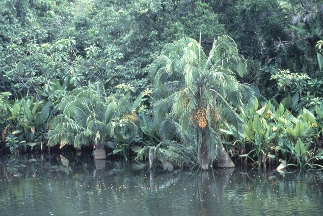 http://media.e-taxonomy.eu/palmae/photos/palm_tc_177020_7.jpg