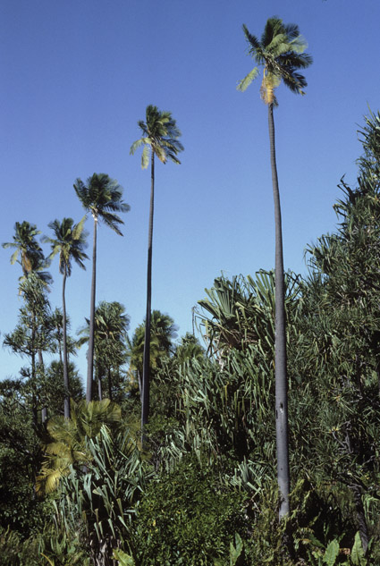 http://media.e-taxonomy.eu/palmae/photos/palm_tc_177022_1.jpg