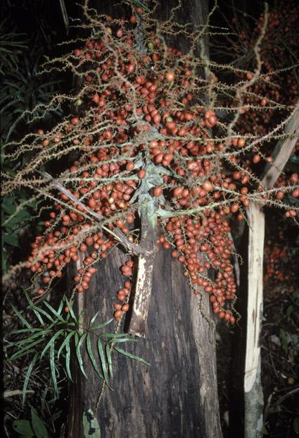 http://media.e-taxonomy.eu/palmae/photos/palm_tc_177023_1.jpg