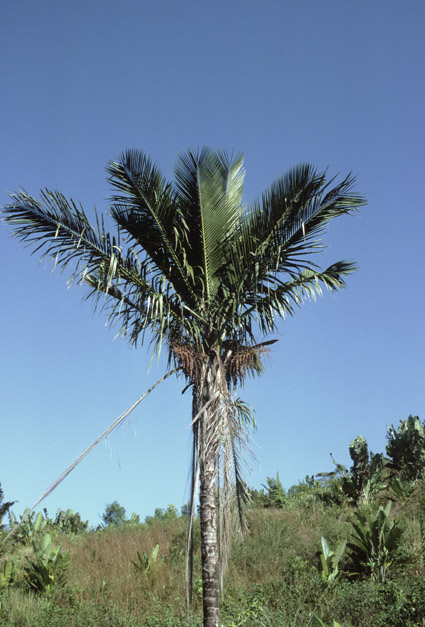 http://media.e-taxonomy.eu/palmae/photos/palm_tc_177023_2.jpg