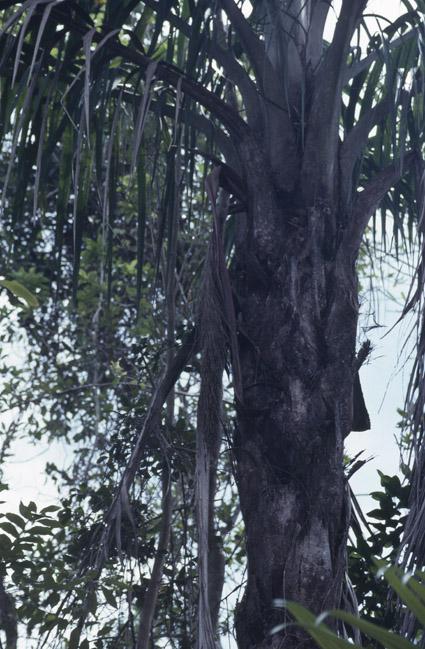 http://media.e-taxonomy.eu/palmae/photos/palm_tc_177023_4.jpg