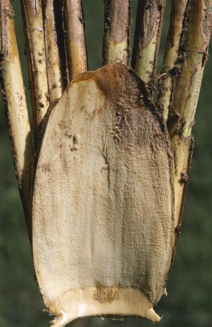 http://media.e-taxonomy.eu/palmae/photos/palm_tc_177025_10.jpg