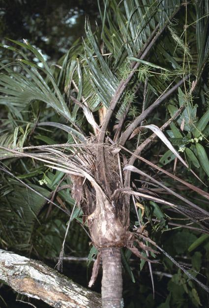 http://media.e-taxonomy.eu/palmae/photos/palm_tc_177025_4.jpg