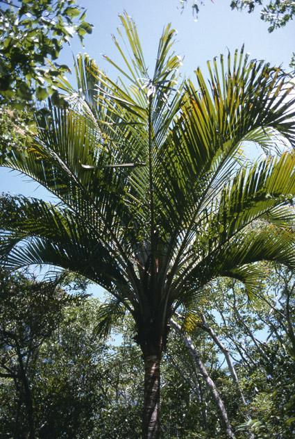 http://media.e-taxonomy.eu/palmae/photos/palm_tc_177025_5.jpg