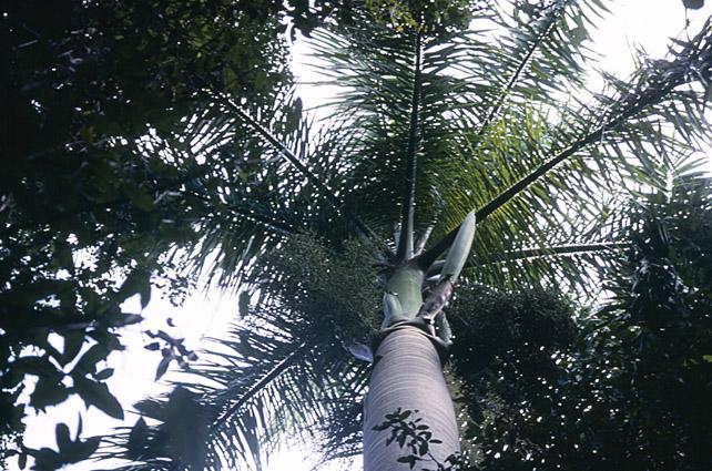 http://media.e-taxonomy.eu/palmae/photos/palm_tc_180149_1.jpg