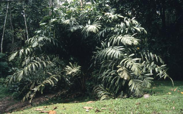 http://media.e-taxonomy.eu/palmae/photos/palm_tc_181800_3.jpg